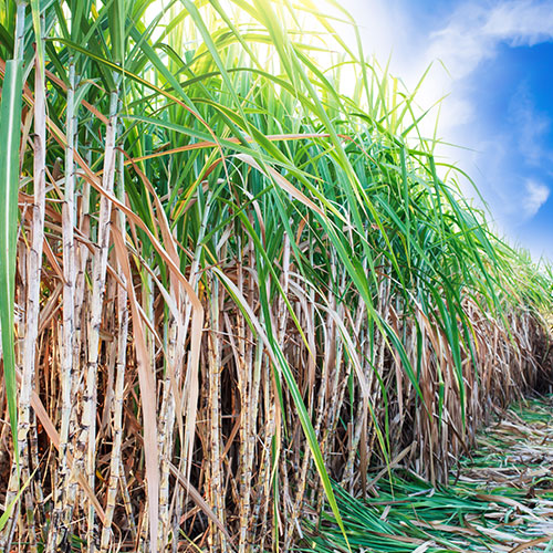 Suikerriet en Bagasse